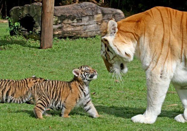Hổ mẹ dạy hổ con